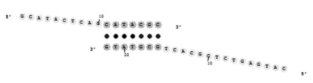 Primer dimer hybridized duplex